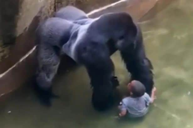 10 Zoo Animals That Should Have Been Shot Instead Of Cincinnati Gorilla