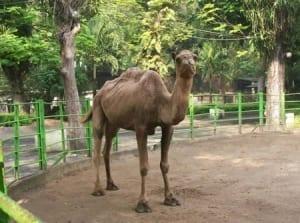 camel-at-surabaya-zoo