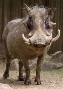 denver_zoo_common_warthog_320