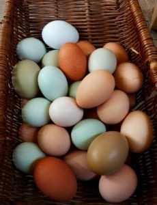 colored-eggs-from-different-chicken-breeds-559x728