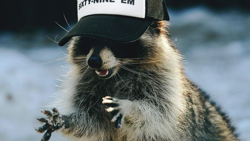 Cute Talking Raccoon Only Talks About Libertarian Party
